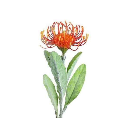 Single Pincushion Leucospermum JI2103-OR