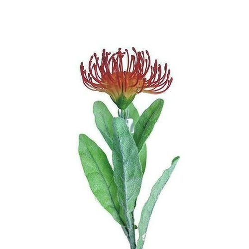 Single Pincushion Leucospermum JI2103-RD