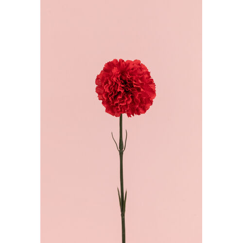 Single Carnation Stem JI2432-RD