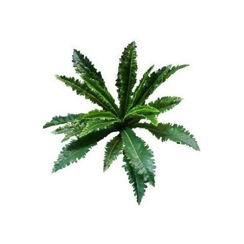 Margaritum Fern Bush S2661