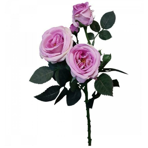 Single David Austin Rose S5713-MAU
